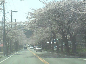 横須賀通研通り桜が咲いてます!