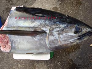 2016年相模湾キハダマグロ釣り|強力な武器をゲットしました☆