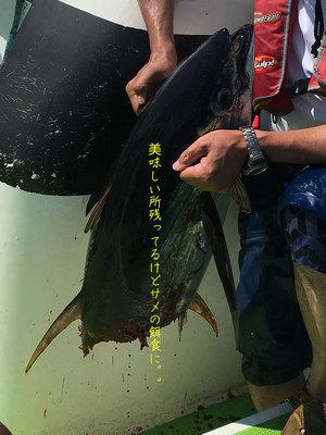 2016年相模湾キハダマグロ釣り|俺のマグロはサメにはやらねぇ!電気ショッカー改良バージョン☆