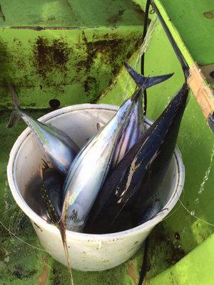 2016年相模湾カツオ・キハダマグロ釣り|シーズン終了?