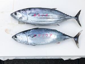 釣り人も絶賛の美味しい海の幸|ヒラソウダ☆