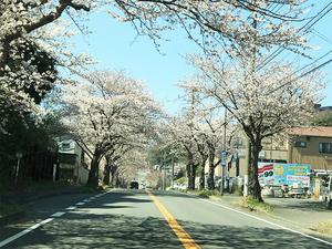 隠れ家的建築設計事務所の中尾建築工房|毎年恒例の桜並木が楽しめます!